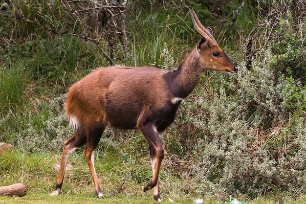 Une belle antilope bushbuck brun foncé aberdare park kenya