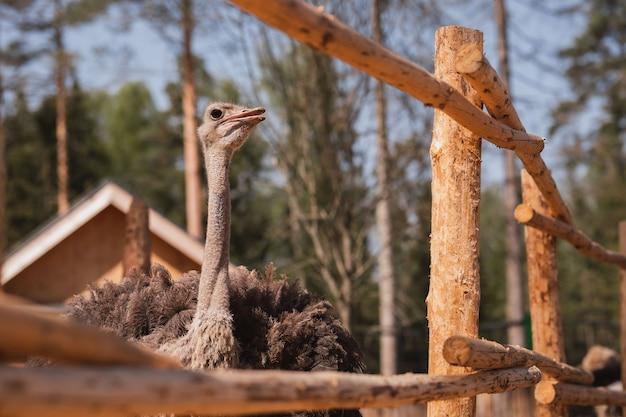Belle autruche dans une volière en bois par une journée ensoleillée