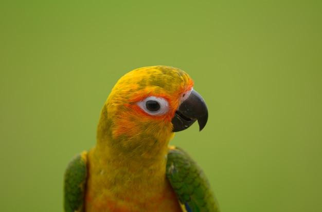 Belle belle perroquet, sun conure.