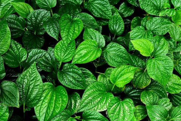 Belle bétel vert feuilles fond de texture