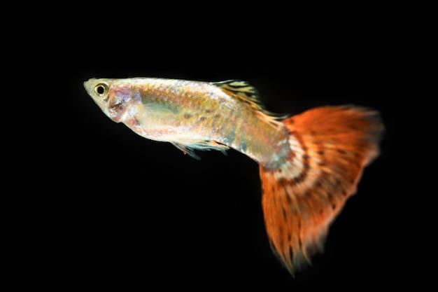 Belle betta poisson isolé fond noir et longue queue