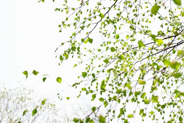 Belle branche de bouleau avec des feuilles vertes dans le ciel.