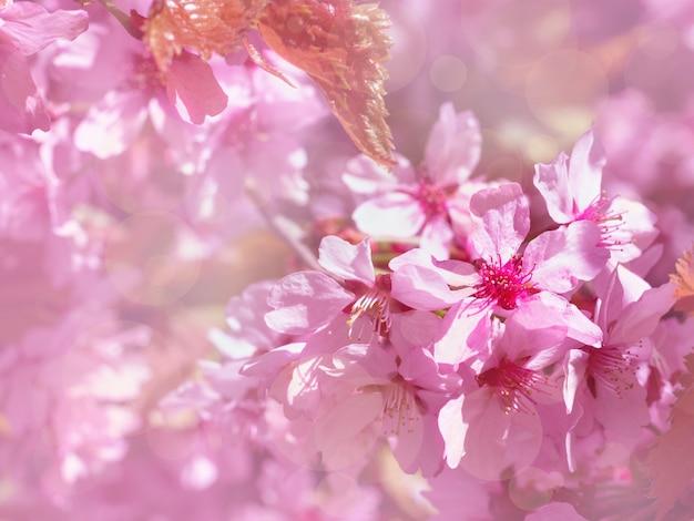 Belle branche de cerisier rose épanouie au printemps sur fond floral, fleurs de sakura