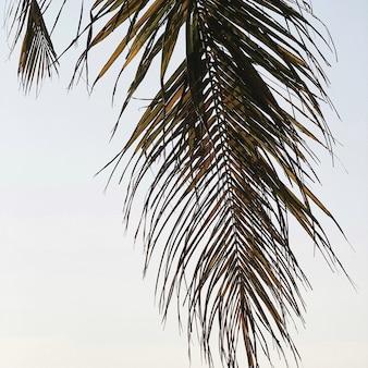 Belle branche de cocotier tropical
