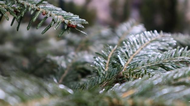 Belle branche d'épinette avec rosée. arbre de noël dans la nature. gros plan de l'épinette verte. aiguilles de pin avec des gouttes de rosée dessus.