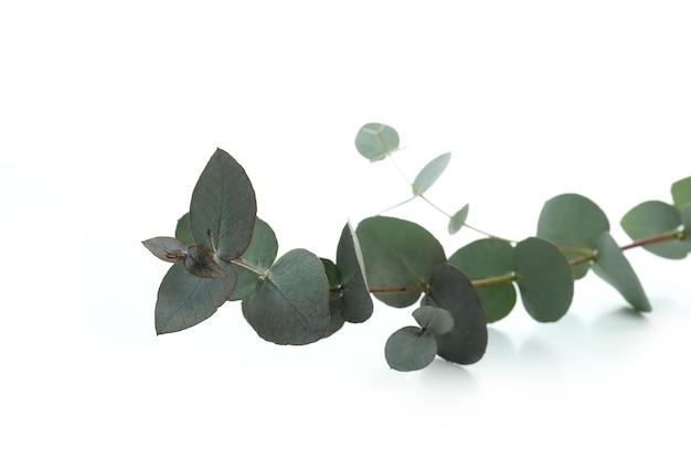 Belle branche d'eucalyptus isolé sur fond blanc
