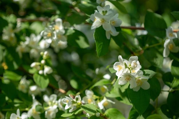Belle branche de jasmin en fleurs avec des fleurs blanches au soleil en journée ensoleillée d'été.