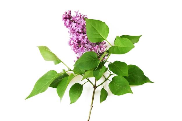 Belle branche de lilas isolé sur fond blanc