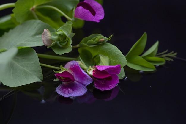 Belle branche de pois de jardin pourpres avec des gouttes d'eau avec réflexion sur fond noir. copiez l'espace.
