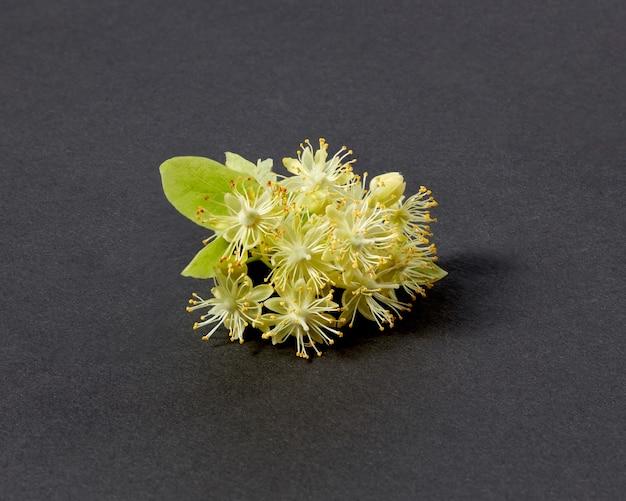 Belle brindille naturelle fraîche en fleurs de tilleul ou de tilia avec de petites fleurs aromatiques jaunes isolées sur fond noir avec des ombres douces, espace de copie. plante médicinale