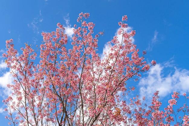 Belle cerise rose prunus cerasoides cerise sauvage de l'himalaya comme la fleur de sakusa qui fleurit au nord de la thaïlande, chiang mai, thaïlande.