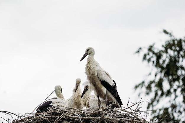 Belle cigogne sauvage dans le nid