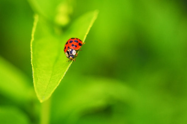 Belle coccinelle rouge rampant sur une feuille verte, beau fond naturel.