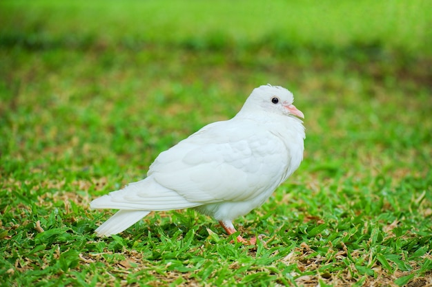 Belle colombe blanche ou pigeon (columba livia) se tient sur l'herbe verte, fond d'oiseau