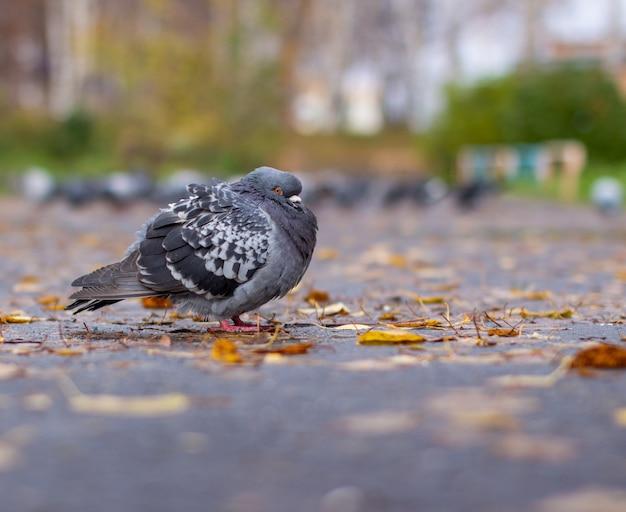 Belle colombe à la coloration irisée sur le trottoir en milieu urbain à l'automne. congé d'automne. vue de côté