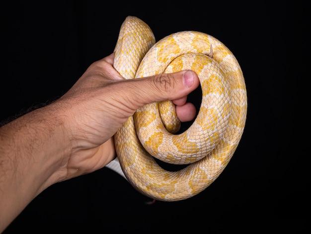 Belle couleuvre hybride, croisement de deux espèces, serpent des blés et couleuvre obscure.