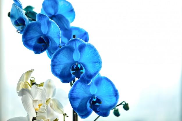 Belle courbure d'une branche d'orchidée bleue