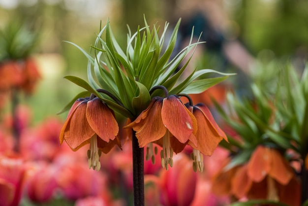 Belle couronne de fleurs impériales