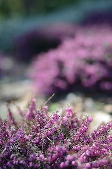 Belle couverture de bruyère mauve dans un champ ensoleillé de printemps.