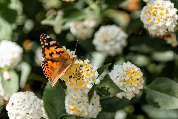 Belle dame (vanessa cardui) papillon sur bush en fleurs close up
