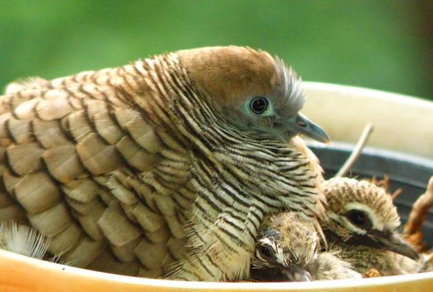 Une belle famille de colombes de zèbre