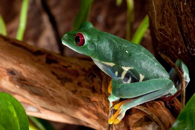Belle femelle grenouille verte aux yeux rouges assise sur une branche.