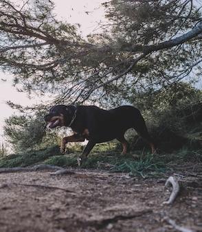 Belle femelle rottweiler un jour ensoleillé