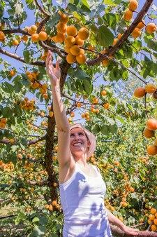 Belle femme cueillant des abricots éclairés par la chaude lumière d'été