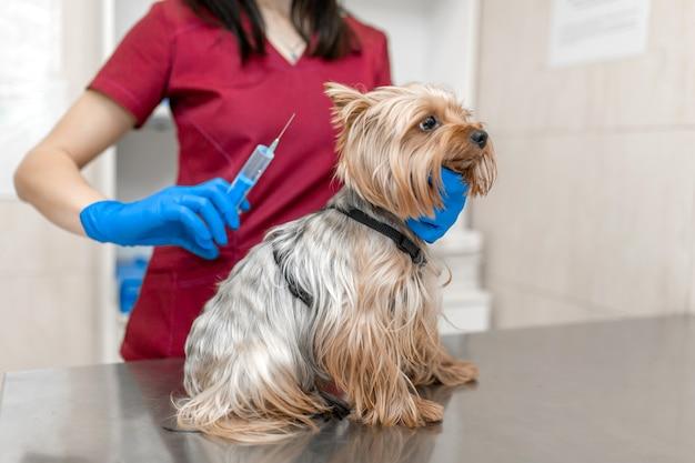 Belle femme vétérinaire vaccinant yorkshire terrier
