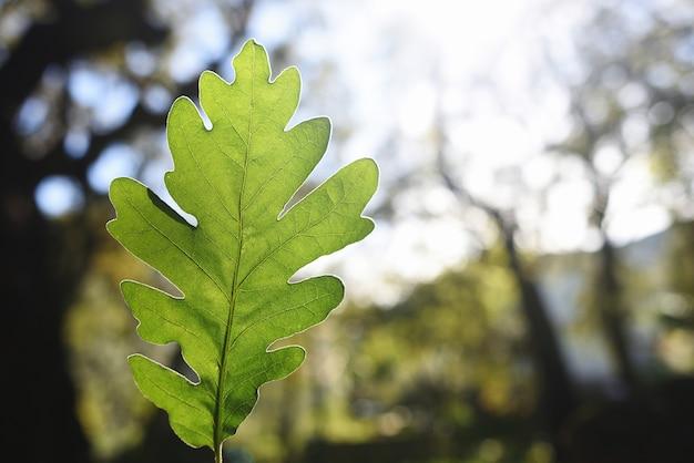 Belle feuille de chêne silhouettée par le soleil