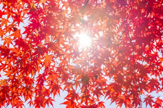 Belle feuille d'érable rouge et vert sur l'arbre