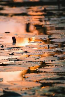 Belle feuille de lotus se reflétant au coucher du soleil.