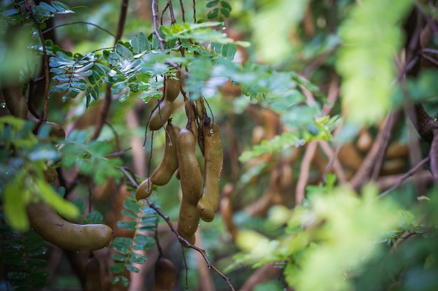 Belle feuille de tamarin vert frais, fruit de tamarin au soleil avec fond de ciel bleu