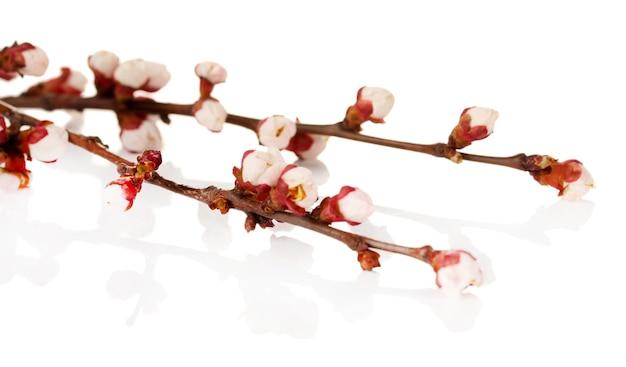 Belle fleur d'abricot sur blanc