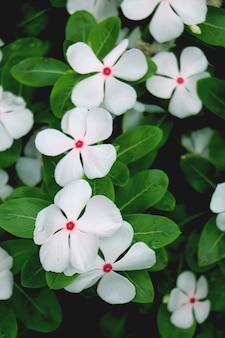 Belle fleur blanche de catharanthus avec fond de feuille verte