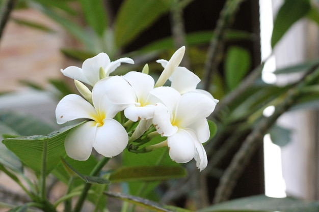 Belle fleur blanche dans le jardin.