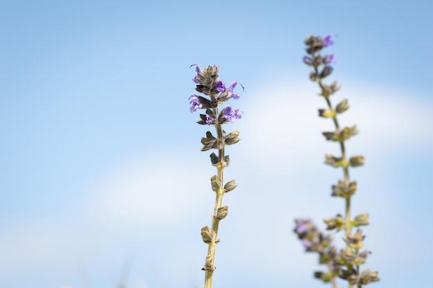 Belle fleur bleue, avec le ciel en arrière-plan ajuga reptans