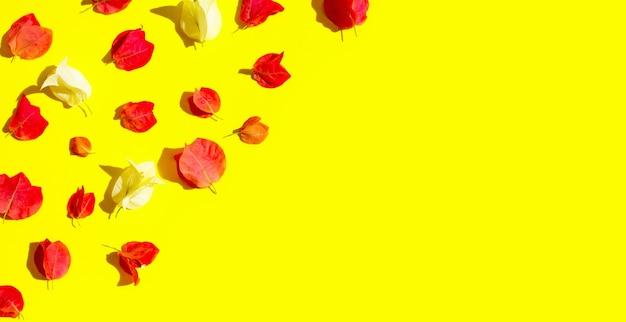 Belle fleur de bougainvillier rouge et blanc sur fond jaune. vue de dessus