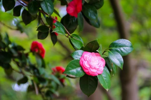 Belle fleur de camélia dans le jardin au printemps