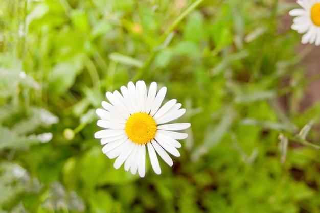 Belle fleur de camomille agrandi. marguerite de printemps.