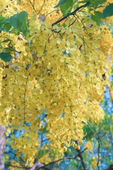 Belle fleur de cassia fistula en fleurs dans un jardin