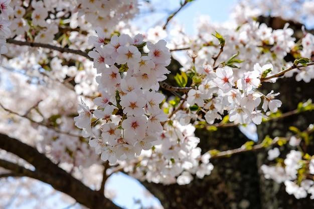 Belle fleur de cerisier ou arbre de fleurs de sakura rose au printemps