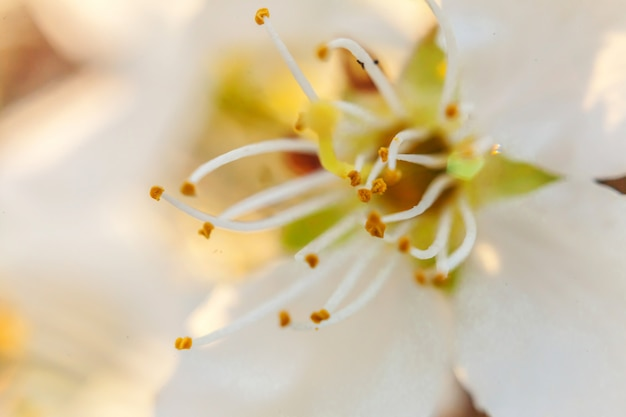 Belle fleur de cerisier blanc sakura macro fleurs bouchent au printemps. jardin ou parc fleuri floral inspirant. conception d'art floral.