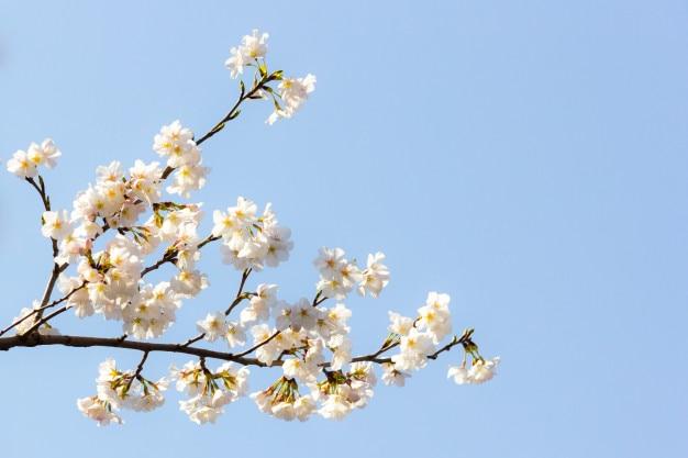 Belle fleur de cerisier. bouchent la fleur blanche avec un espace de copie avec la lumière du matin