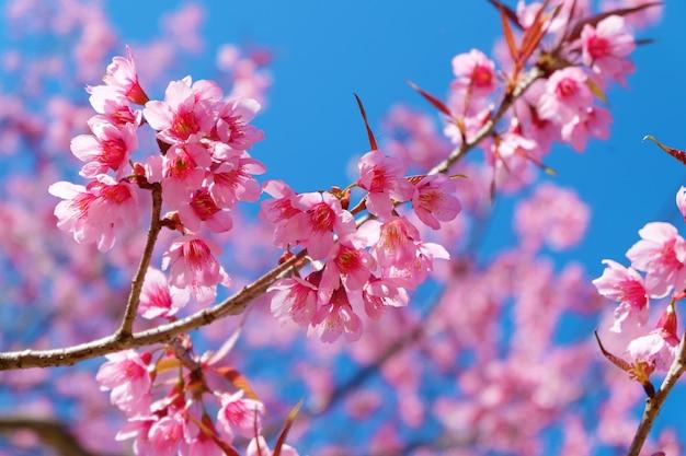 Belle fleur de cerisier, fleurs de sakura rose avec un ciel bleu au printemps