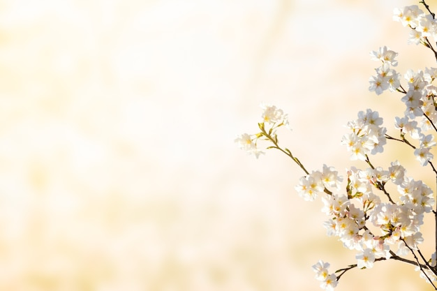 Belle fleur de cerisier. gros plan sur une fleur blanche avec un espace de copie avec la lumière du matin