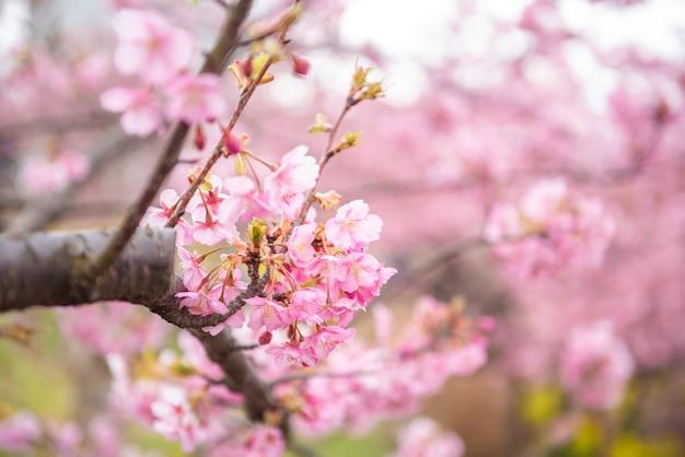 Belle fleur de cerisier à matsuda, japon