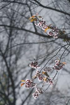 Belle fleur de cerisier ou sakura sur fond de nature, flou et couleur tonique.