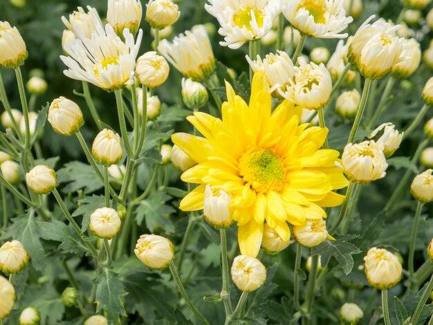Une belle fleur de chrysanthème jaune avec vue sur le jardin