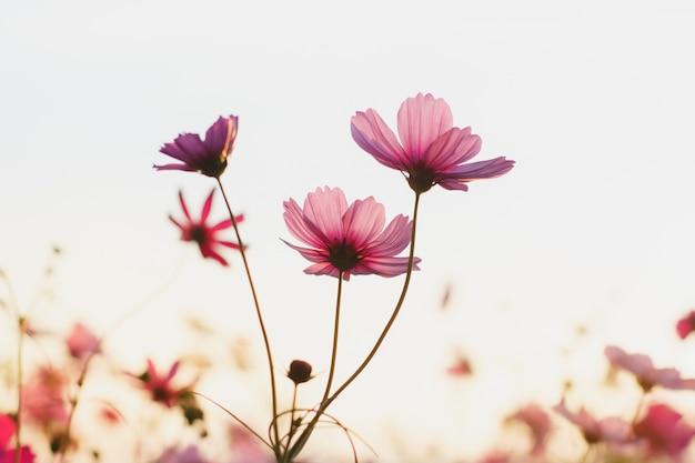 Belle fleur cosmos avec la lumière du soleil